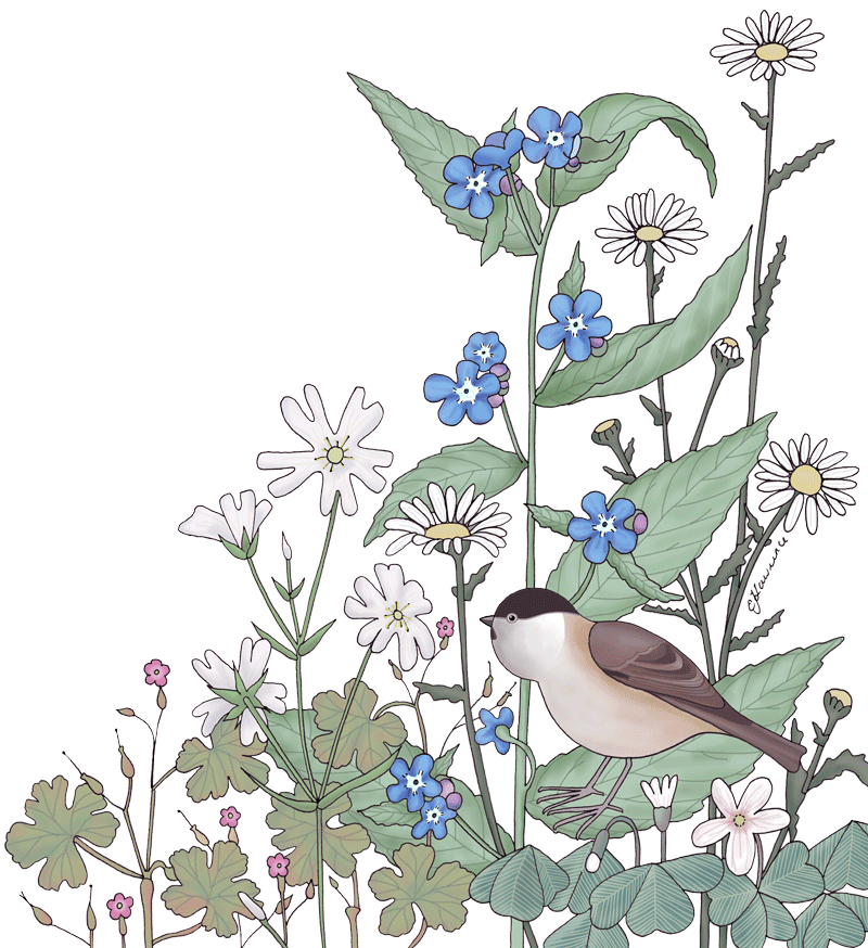 Wildflower Birds, Botanical illustration Shrewsbury Shropshire Emma Lawrence